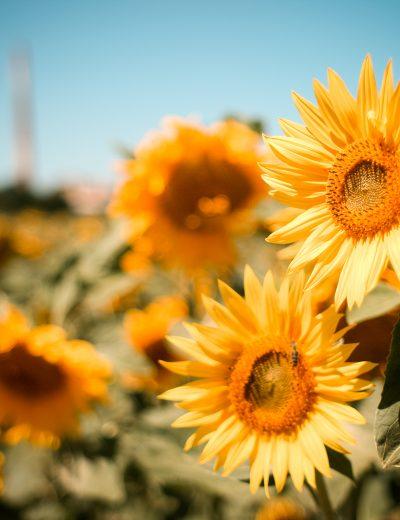 sunflowers-field-picjumbo-com